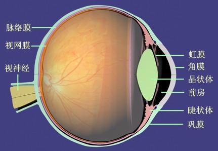 眼睛的五种膜